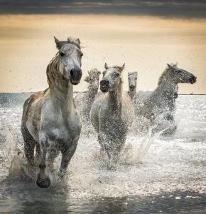 Camargue Horses No. 4